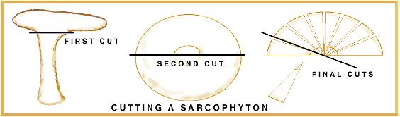 Sarcophyton cutting diagram