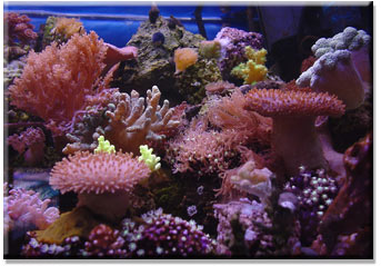 types of coral growing