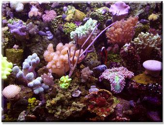 propagated corals