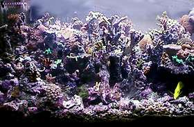 Tyree frags in 150 reef