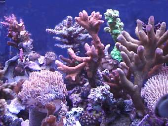 sps coral in 55 gallon reef