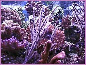 purple gorgonian