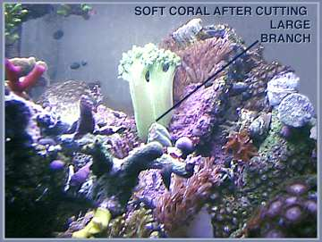 soft coral after cutting