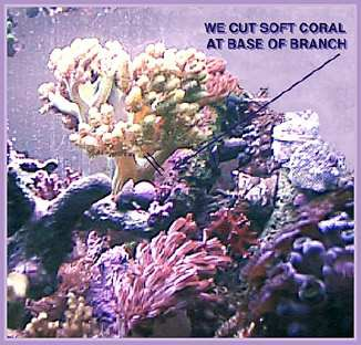 soft coral before cutting