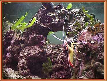 shrimp on rock