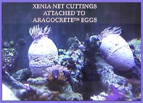 XENIA ON EGG