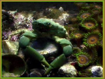 The good looking Emerald crab male thinking about eating some bubble algae