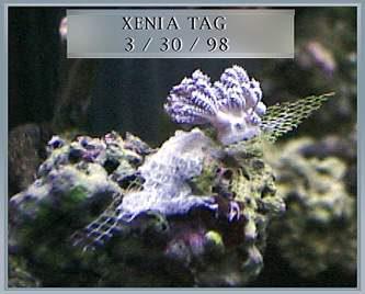 Xenia tag at 1 week old