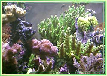Bali Stag growing on glass in 150 gallon reef