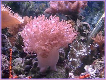 Bali Xenia growing in 55 gallon reef
