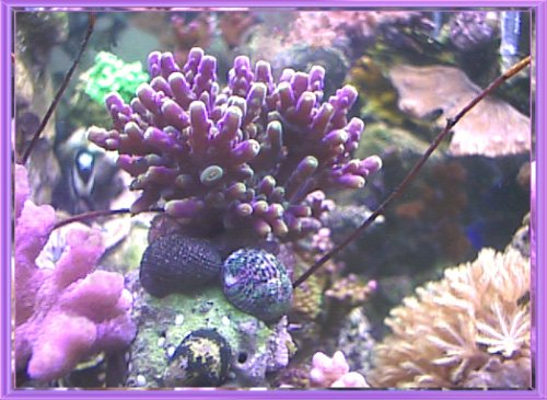 purple acropora in Sally Jo's reef aquarium