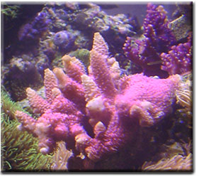 SMALL POLYP STONY CORAL PRODUCTION -a research update