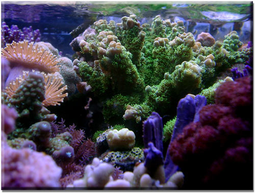 HARDY SPS CORAL - FROM BALI THIS IS JUST ONE OF RARE HARDY SPS ...