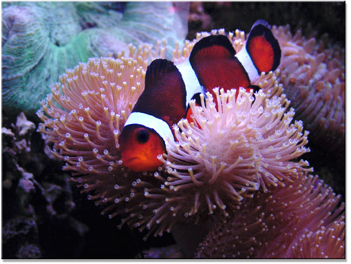 reef aquarium clownfish