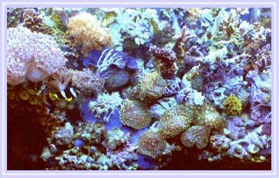 Reef Aquarium mushroom