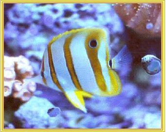 Aiptasia coral myfishtank net forum for Aiptasia eating fish