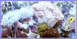 Reef Aquarium xenia open