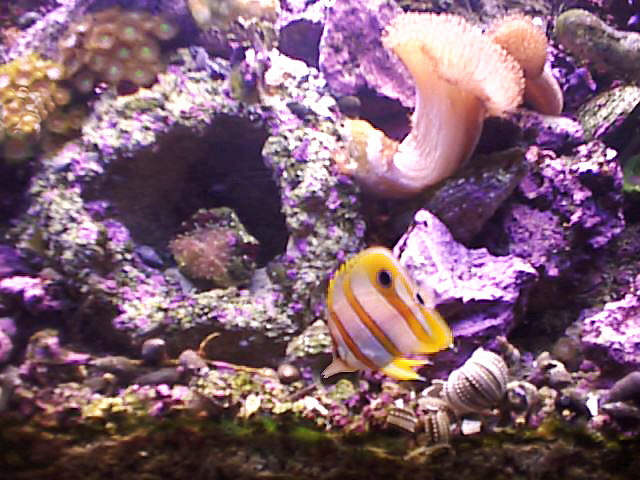Reef picture of the week for Aiptasia eating fish