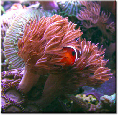 relationship between clownfish sea anemone mutualism